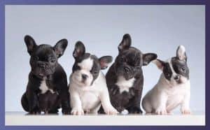 Are French Bulldogs Aggressive 1