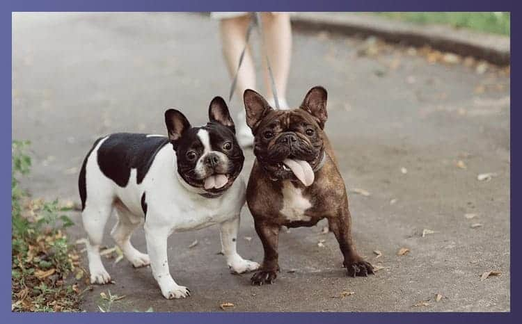Are French Bulldogs Aggressive
