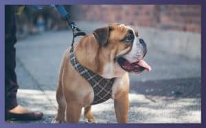 Best Pulling Harnesses For American Bulldogs