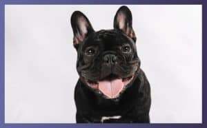 Characteristic Traits of European French Bulldog