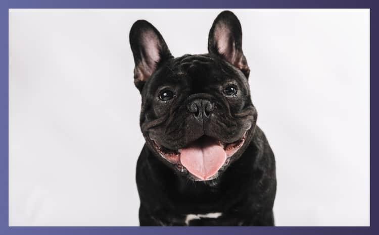 Characteristic Traits of European French Bulldog