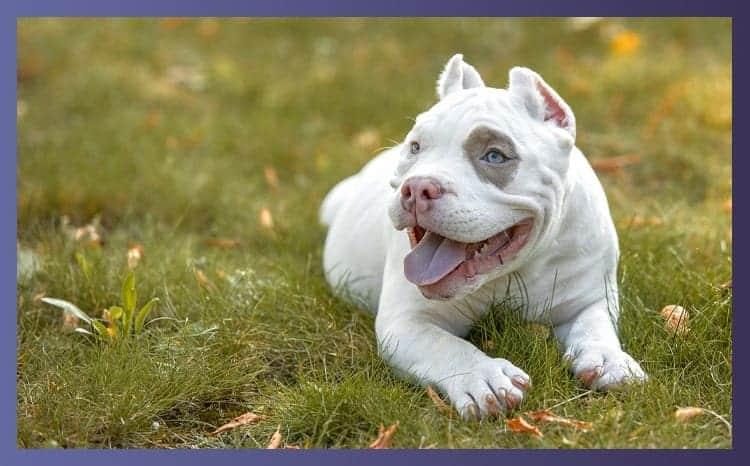 Characteristics of American French bulldogs