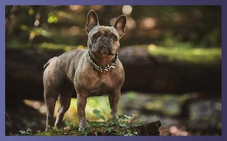 Collars For Bulldogs