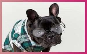 English Bulldog Potty Training Regression: 6 Basic Causes