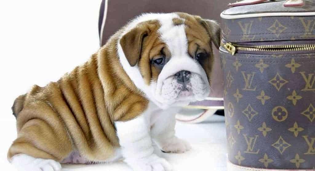 English Bulldog Potty Training Regression