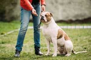 English Bulldog Potty Training Regression