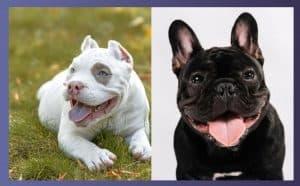 European French Bulldog Vs American French Bulldog - Best Guide 2020
