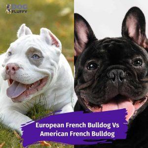 European French Bulldog Vs American French Bulldog-IG-DogFluffy