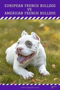 European French Bulldog Vs American French Bulldog-Pin-DogFluffy