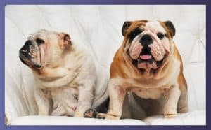 Exercise Equipment For Your Bulldog 5