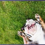 Should French Bulldogs Have Their Dew Claws Removed? | Best Guide 2020