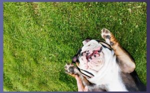 Should French bulldogs have their dew claws removed featured Image 400