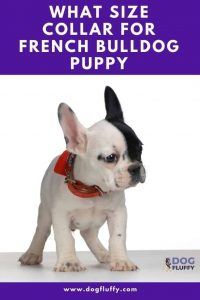 What Size Collar for French Bulldog Puppy Pinterest Image