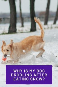 Why Is My Dog Drooling After Eating Snow Pinterest Share