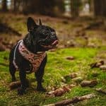 7 Best Escape Prevention Harness For Your Bulldog