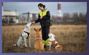 training english bulldogs