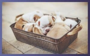 what do bulldog puppies eat 1