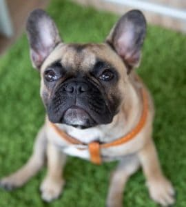 what size collar for french bulldog puppy