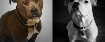 American bulldog vs pitbull featured image