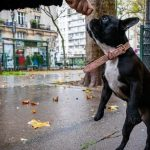 Are French Bulldogs Easy To Train? 8 Simple Points