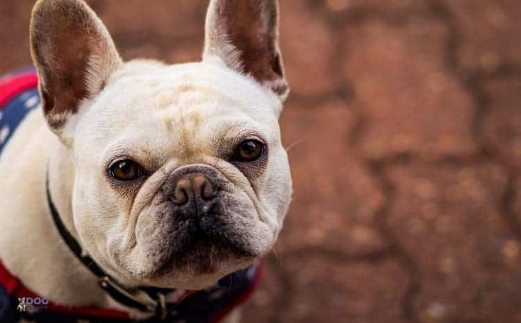 Are French Bulldogs Intelligent