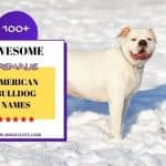 100+ Awesome Female American Bulldog Names