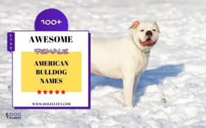 Female American Bulldog Name Featured Image