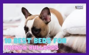 Best Beds for French Bulldogs Featured Image