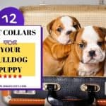 12 Best Collars For Your Bulldog Puppy