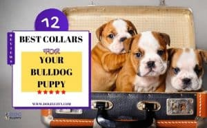 Best Collars for your Bulldog Puppy - Featured Image