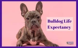 bulldog life expectancy featured image