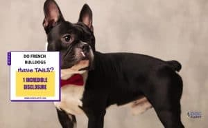Do French Bulldogs Have Tails - featured image