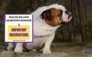 English Bulldog Aggressive Behavior Featured image