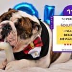 English Bulldog Biting Owner   11 Super Tips Solutions