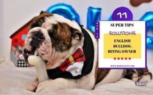 English Bulldog Biting Owner - Featured Image
