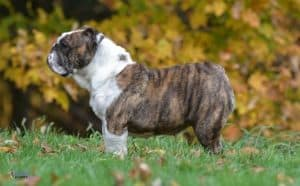 English Bulldogs Are Popular Dogs