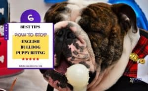 English bulldog puppy biting and growling - featured image