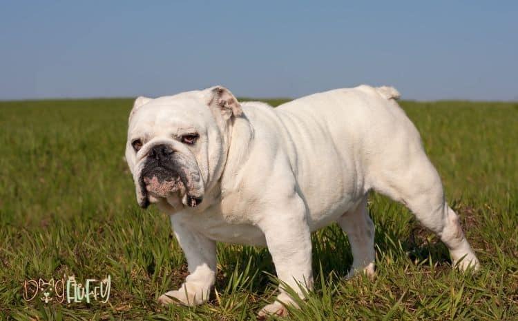 English bulldog tips and advice Featured Image