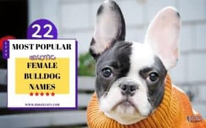 Exotic Female Bulldog Names - Featured Image