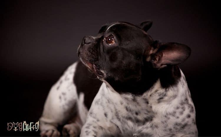 French Bulldog Dandruff