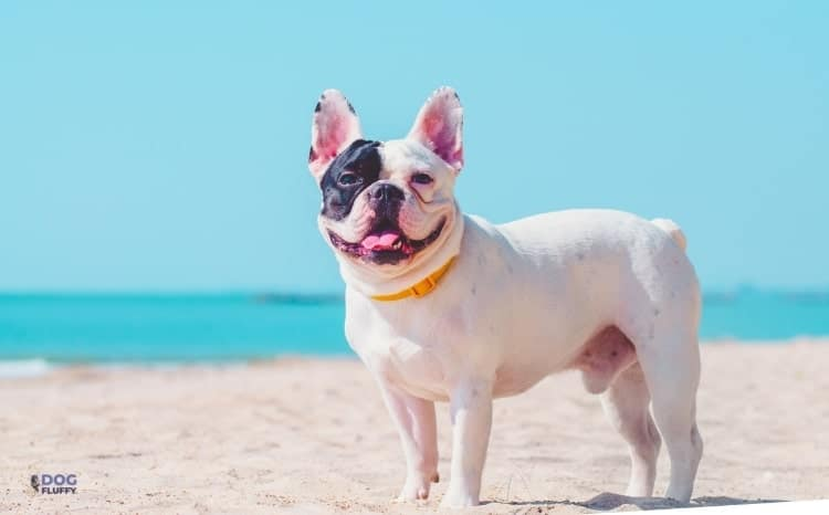 French Bulldog and Pitbull Mix - The Origin of French Bulldogs