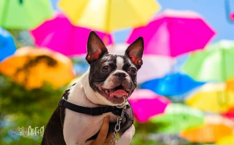 French bulldog color chart Featured Image
