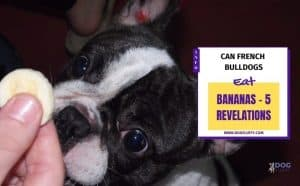 Here is the Answer Can Bulldogs Eat Bananas