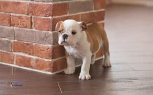 How Big Do English Bulldogs Get At 4 8 Weeks