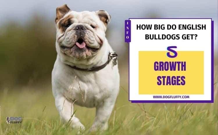 How Big Do English Bulldogs Get