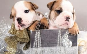 How Many Puppies Do English Bulldogs Have In Their Lifetime