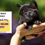 How Much Should I Feed My French Bulldog Puppy? 6 Best Factors