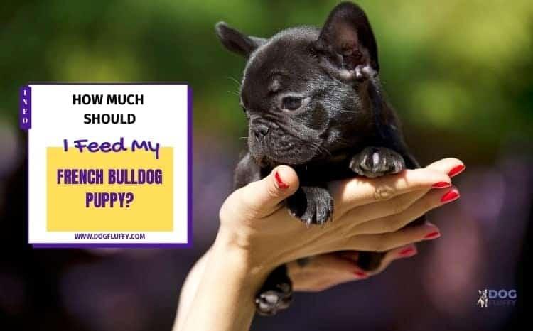 How Much Should I Feed My French Bulldog Puppy? 6 Key Factors