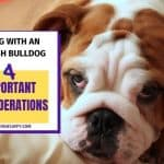 Living With an English Bulldogs – 4 Important Considerations