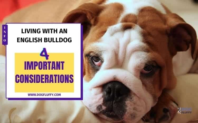 Living With an English Bulldogs